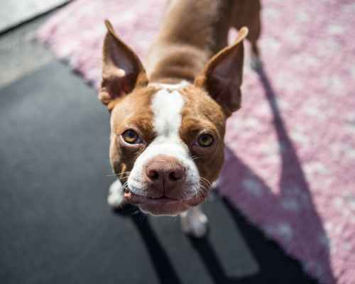 Boston Terrier vs French Bulldog - Boston Terrier being cute