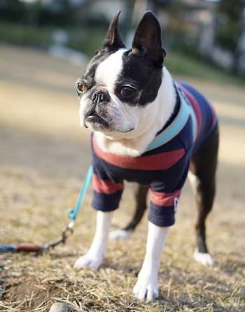 Boston Terrier on a walk