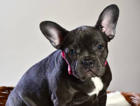 French Bulldogs are very outgoing and sociable
