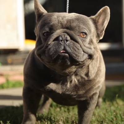 French Bulldogs do have some health conditions specific for the breed