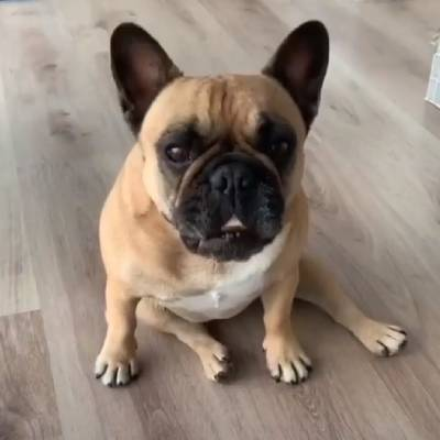 Due to their shorter body, French Bulldogs may have issues with their spine