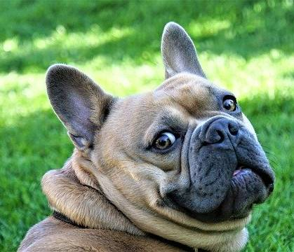 Frenchies' eyes are somewhat bulged out of their skull