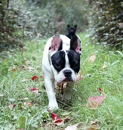 Because of their face anatomy you have to be careful walking your French Bulldog in the woods