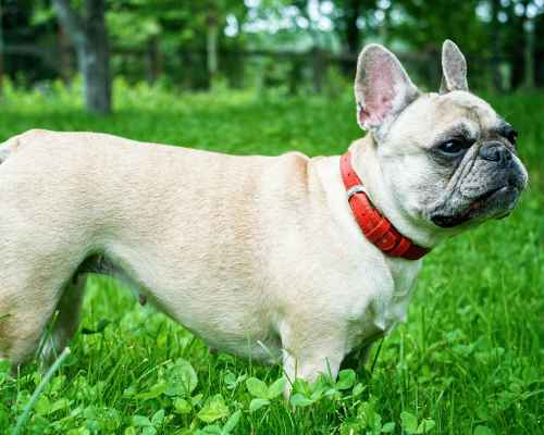 Boston Terrier vs French Bulldog - Frenchie out on a walk