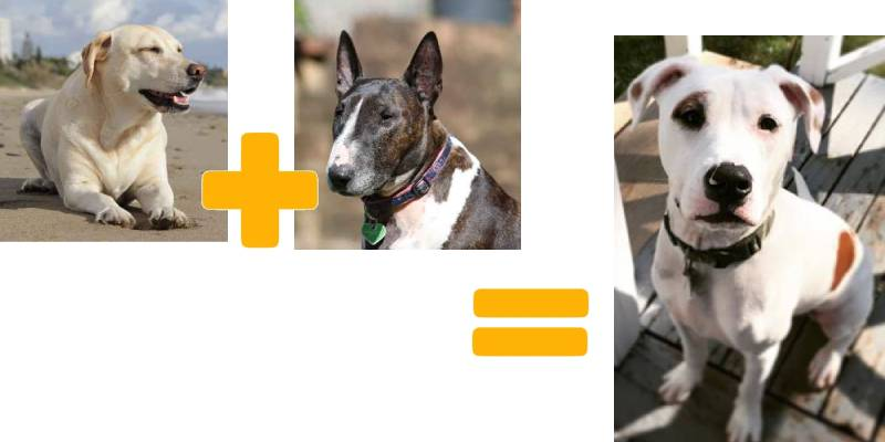 Bull Terrier Lab mix: mister popularity