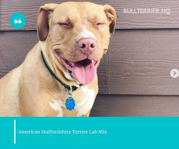 adopting an American Staffordshire Terrier Lab Mix