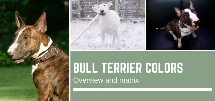 Bull Terrier colors - overview and color matrix