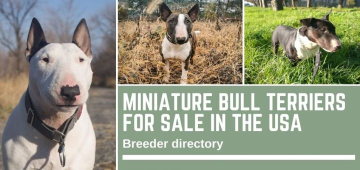 Miniature Bull Terriers for sale in the USA – breeder directory
