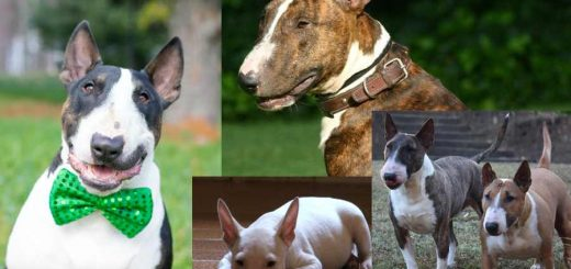 Bull Terrier colors