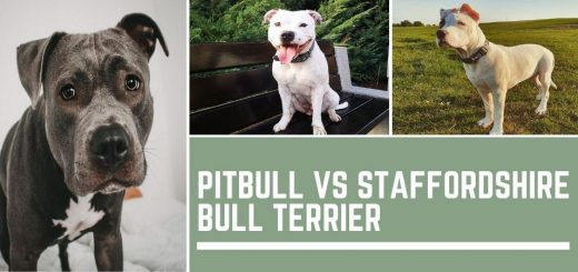 Pitbull vs Staffordshire Bull Terrier