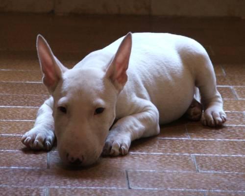 Bull Terrier colors- white