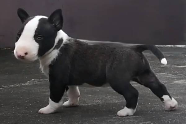 Miniature Bull Terriers for sale in California
