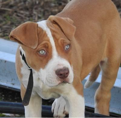 Pitbull puppy exploring