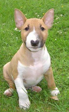 Tan Bull Terrier Puppy