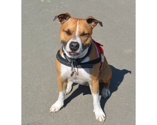 American Staffordshire Terrier Lab Mix: physical characteristics