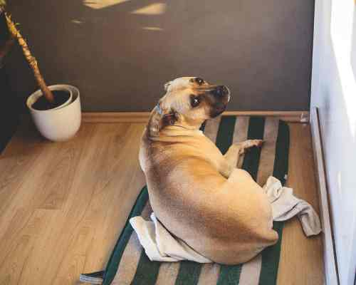 American Staffordshire Terrier Lab Mix: personality traits - amstaff character