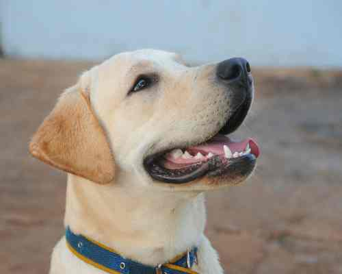 American Staffordshire Terrier Lab Mix: physical characteristics - labrador