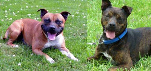 Pitbull vs Staffordshire Bull Terrier